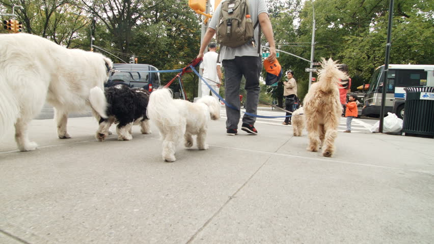 NEW YORK, USA - AUGUST 16, 2016. Professional Dog Walker near Central Park in New York City with many different Dogs on the Sidewalk.