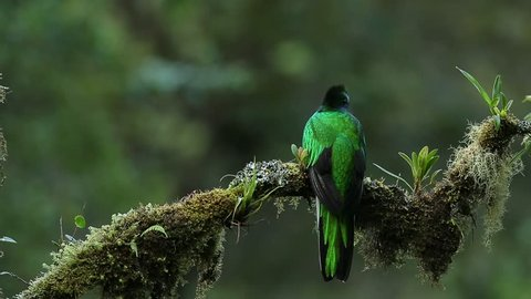 Rare tropic bird from mountain cloud forest. Resplendent Quetzal, Pharomachrus mocinno, magnificent sacred green bird with very long tail. Exotic bird from Costa Rica, Central America