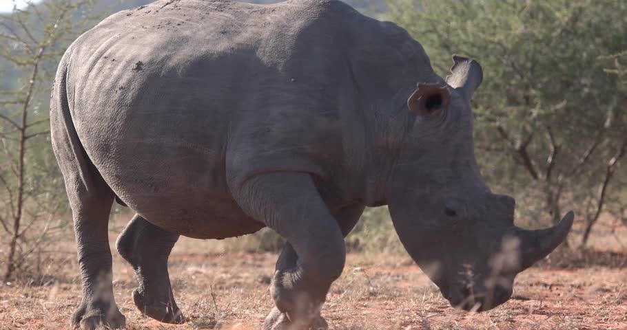 African rhinoceros running in Botswana