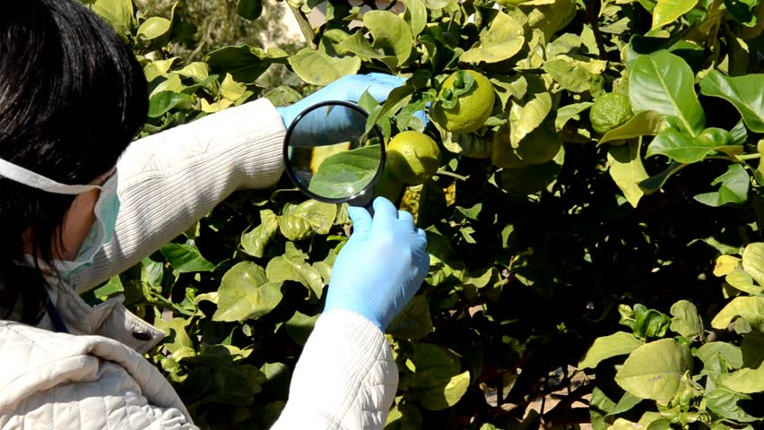 Botanist in mask checks lemons growing on the tree in garden. They are still green. She uses magnifying glass and wears blue latex gloves. Medium close up shot, bright sunny day, natural lighting