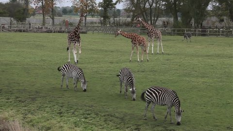 Rothschild'S Giraffes & Burchell'S Zebras; Flamingo Land Zoo North Yorkshire