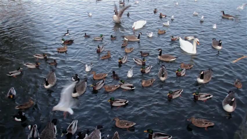 Canadian Geese Branta Canadensis Mute Swans Cygnus Olor & Mallard Ducks Anas Platyrhyncho; Weaponness Valley Mere Scarborough