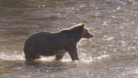 Grizzly Bear With Large Tapeworm