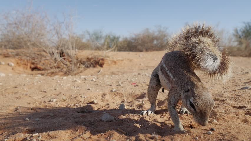 A ground squirrel hunting for food in the Kgalagadi Desert