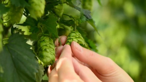 Farmer inspecting hops on the field, human hands checking a ripeness, closeup
