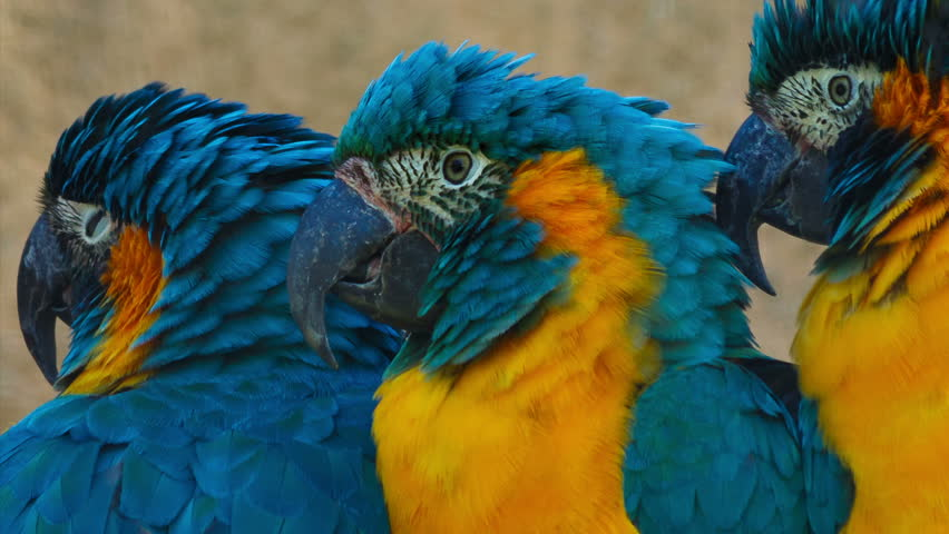Ultra close-up shot of 3 blue-throated macaws - ara glaucogularis - fighting for space in a perch. This endangered species is native from Bolivia and about 350 to 400 individuals remain in the wild
