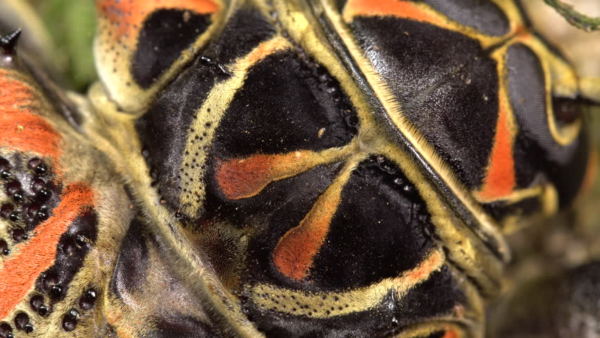 Detail of a Harlequin Beetle (Acrocinus longimanus). A large beetle from the Amazon, well known for carrying pseudoscorpions and mites under the elytra. In this shot mites are running over its body.