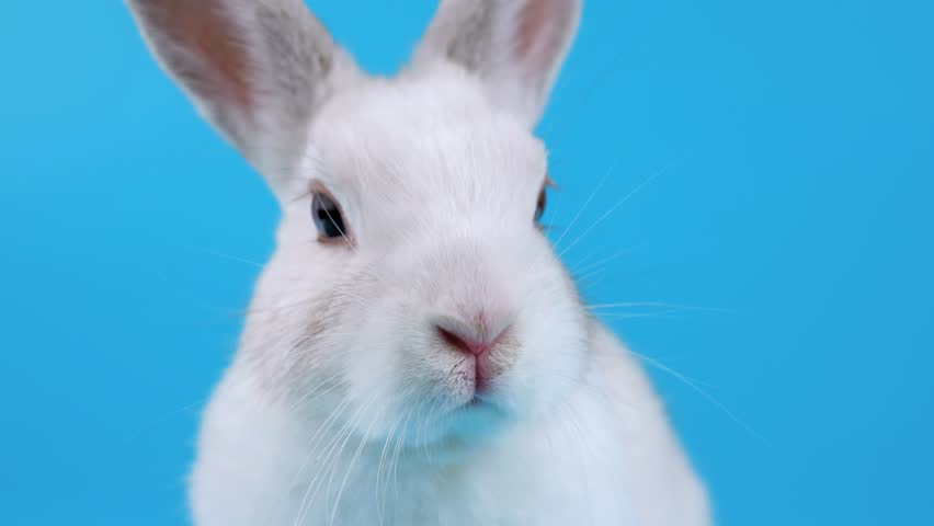 Close-up face of a white rabbit, looking around and sniffing, on blue chroma key