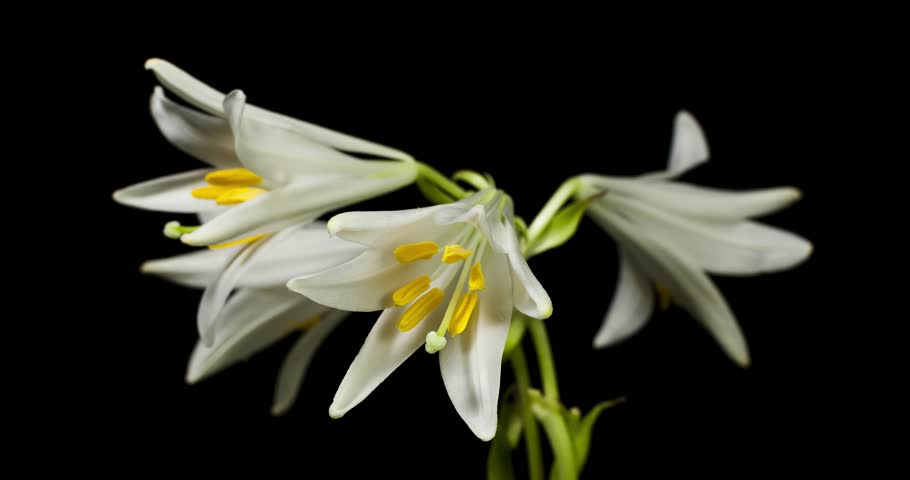 Pure white Lily blooming on black background shot in studio