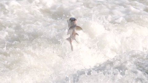 Slow motion shot of a salmon fish jumping out of river rapids to swim upstream to spawn. Perfect shot