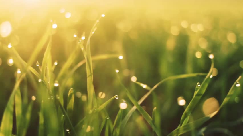 Fresh spring morning grass with dew in the sunrise