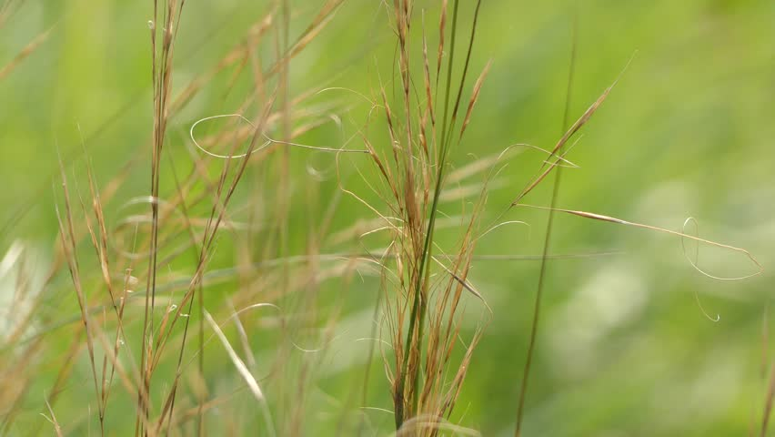Stipa capillata is perennial bunchgrass species in family Poaceae, native to Europe and Asia.