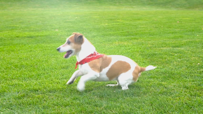 Adorable small dog Jack Russell terrier dancing  jumping want to  play. excited impatience. Active crazy friend pet running for the blue disk toy. seamless endless looped video. side profile view #22953052