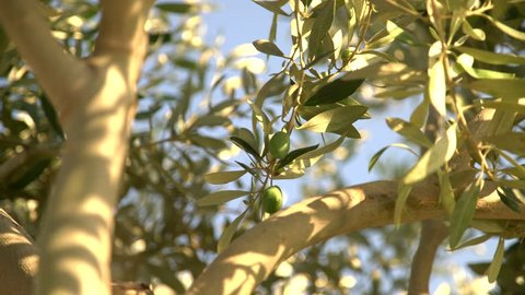 Olive fruit close up in a olive tree. Southern europe. 4K Video footage