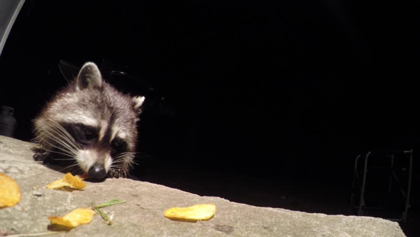 [4k raccoons eating chips]raccoons eating chips 4k