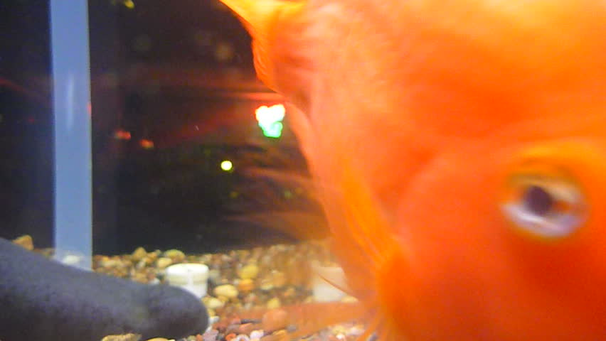 A group of various gold fish at pet store swimming and interested in camera underwater.