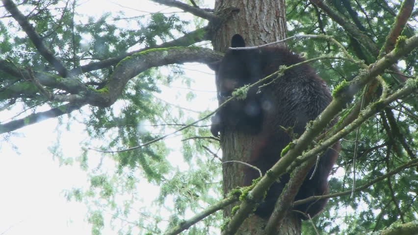 Large black bear climbing up tall evergreen tree, close up.
