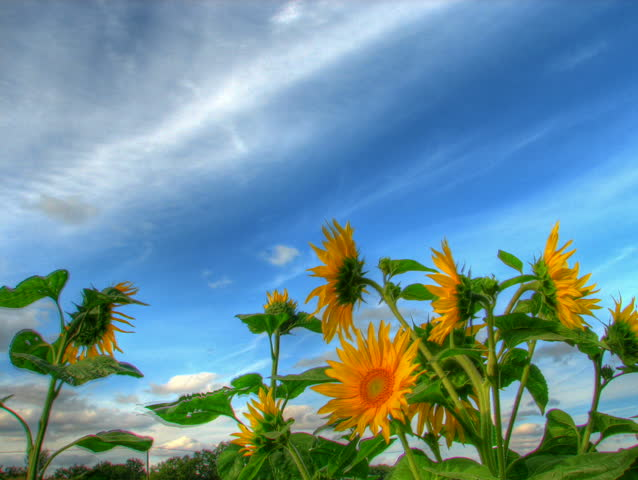 Blue sky over sunflowers, HD time lapse clip, high dynamic range imaging.