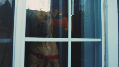 sad shar pei waits in window for owner to come home