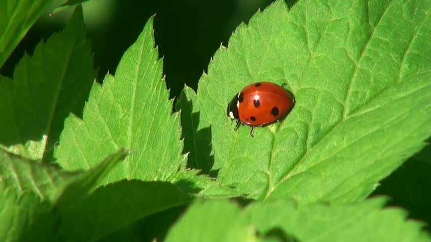 Ladybug crawling on a leaf of grass