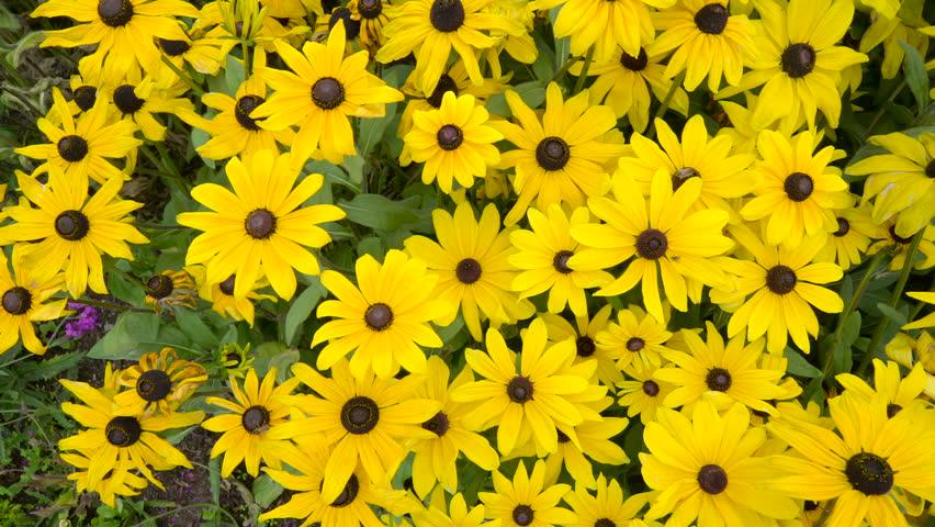 Yellow beautiful sunflowers in the garden waving on the breeze of yellow beautiful sunflowers in the garden waving on the breeze of the wind in ireland mightylinksfo Images