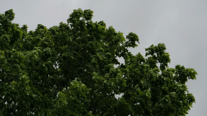 Beautifull tree before bad weather. Wind blowing on the foliage.