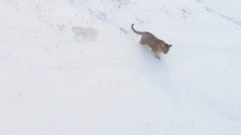 Aerial view on Siberian tiger, Panthera tigris altaica, adolescent male in winter landscape, walking in deep snow against birch trees during snowstorm. Taiga environment, freezing cold, winter.