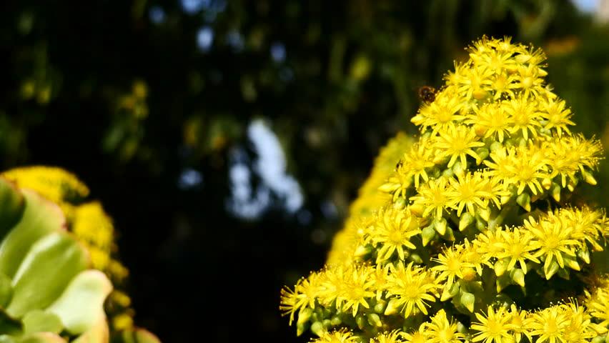 Header of Aeonium arboreum