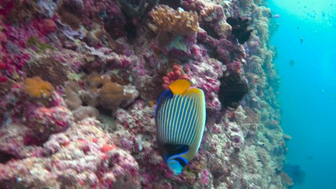 Imperial angelfish.Exciting underwater diving in the reefs of the Maldives archipelago.