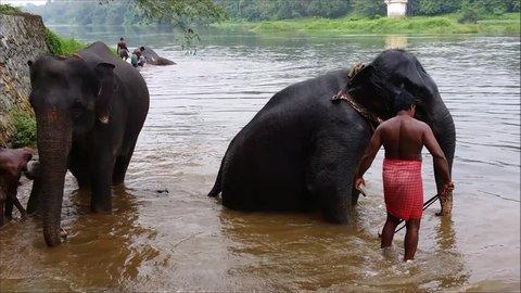 Kodanadu, INDIA - NOV 20: : Daily elephants bath at Kodanadu Periyar elephant camp on November 20, 2016 in Kodanadu, Kerala,India.. Mahouts bathe and clean the elephants in the the river.
