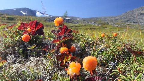 Cloudberry in the mountains. Urals, July. Landscape2.