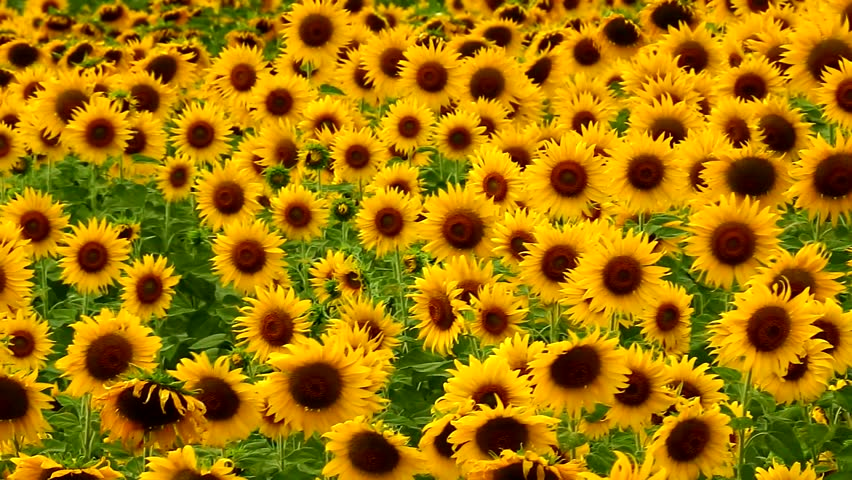 sunflower background images wallpaper and free download