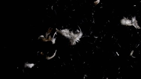 Looking up to brown and white goose feathers falling down in slow motion on black background