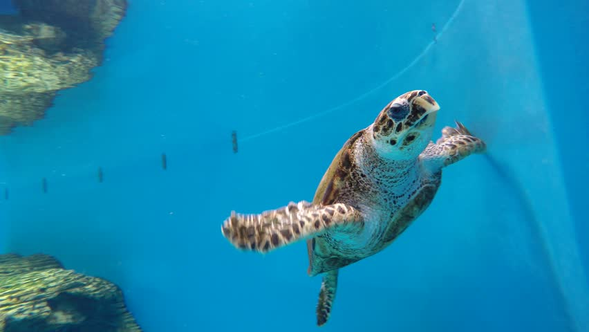 Portrait of big turtle swimming on aquarium water | Shutterstock HD Video #23415172
