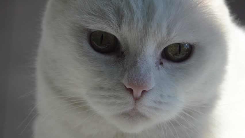 White Cat, Slow Motion   Shutterstock HD Video #23433655