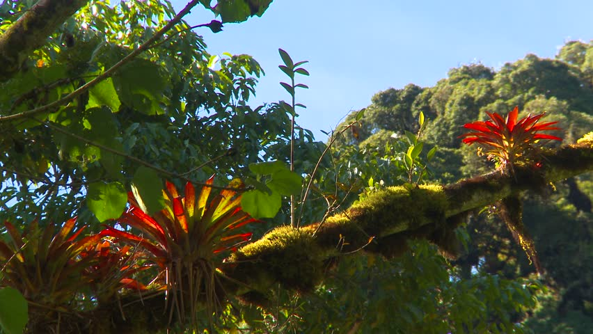 Rain Forest Bromeliads in South Stock Footage Video (100% Royalty free) 2344172 Shutterstock