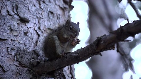 Close Up of Squirrel Eating Nuts on Pine Branch in Forest