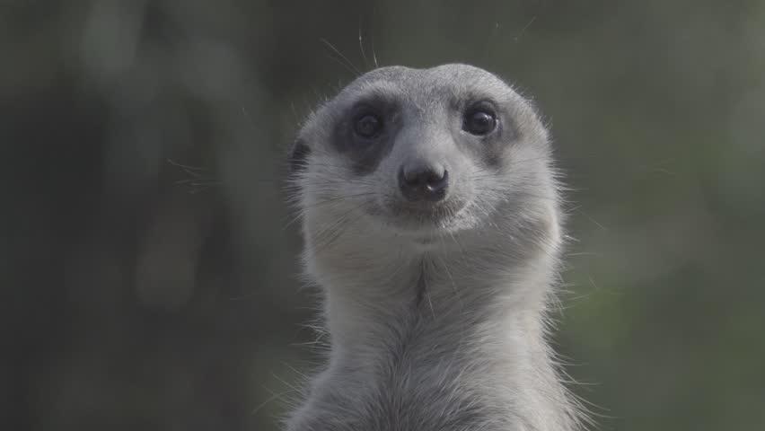 Little brown meerkat alert watch out for danger : 4K Ungraded flat profile Log file out of camera | Shutterstock HD Video #23545492