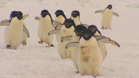 Anarctica Adelie Penguins