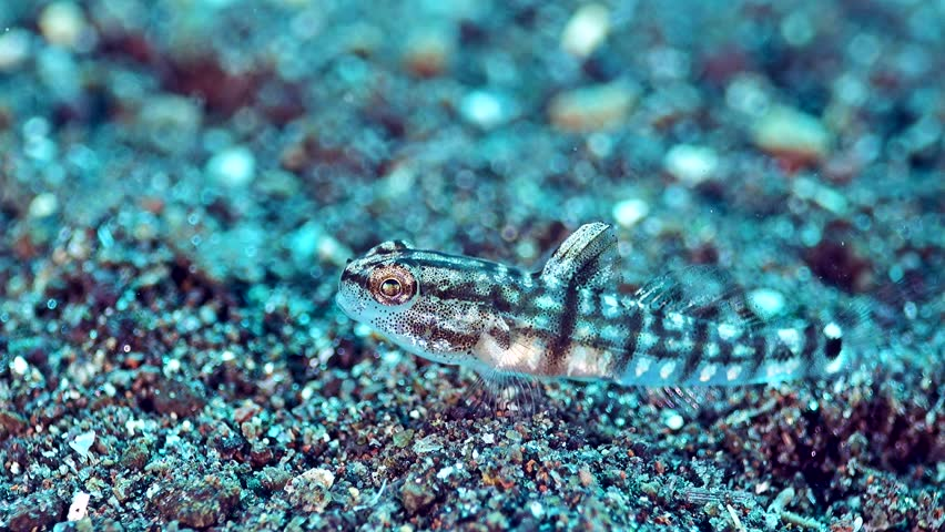 Tiny Semi Transparent Goby Pygmy Or Stock Footage Video 100
