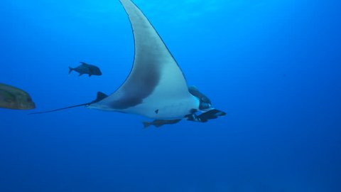 Giant manta ray swimming in the blue - Socorro, San Benedicto island