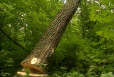 Lumberjack cuts down a tree