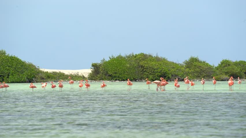 Flock of pink flamingo birds - Bonaire, salt pond