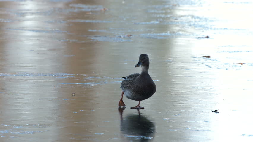 MS. Female Mallard duck slipping on a frozen lake. Seagulls fly towards the duck. Reading, UK