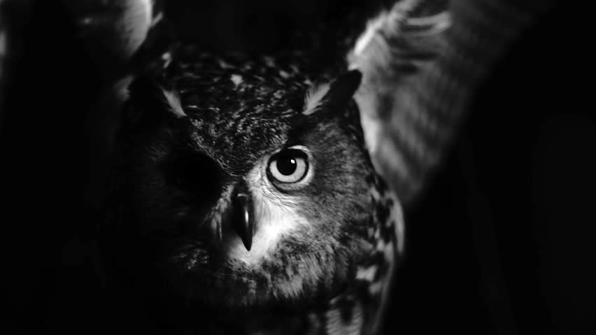 Super slowmotion of owl flapping its wings in the night. Black and white shot. Fear.