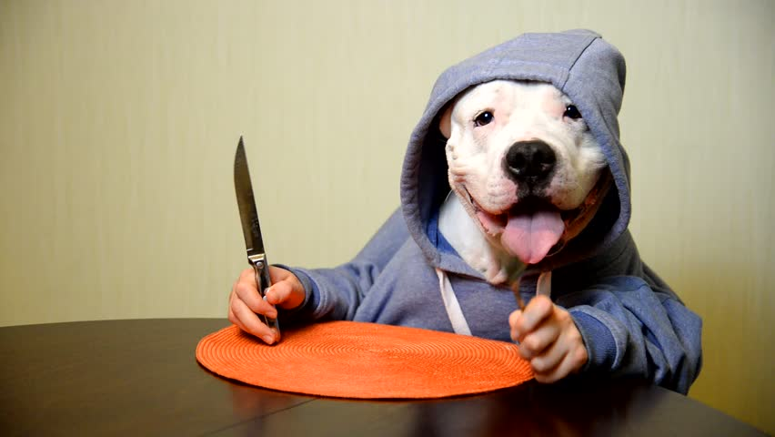Staffordshire terrier eating with a knife and fork