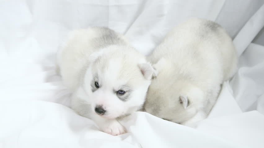 Cute Newborn Husky Puppies Huddling Stock Footage Video 100 Royalty Free 23877172 Shutterstock