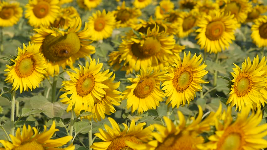 Cers Of Golden Yellow Flowers Blooms Late Summer Fall Amid Rough Stems Ideal In Borders Rock Gardens Or As A Cut Flower