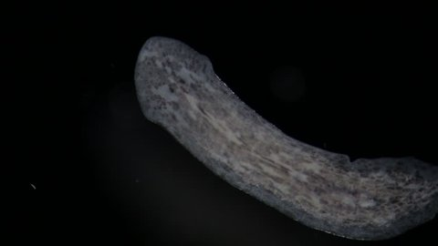 Turbellaria Flatworms Planaria by microscope. Benthic microorganism. Freshwater microscopic wild nature and aquarium inhabitant. Super Macro