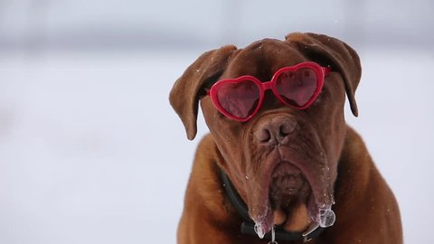 dogue de bordeaux with heart shaped valentine glasses out while it snows